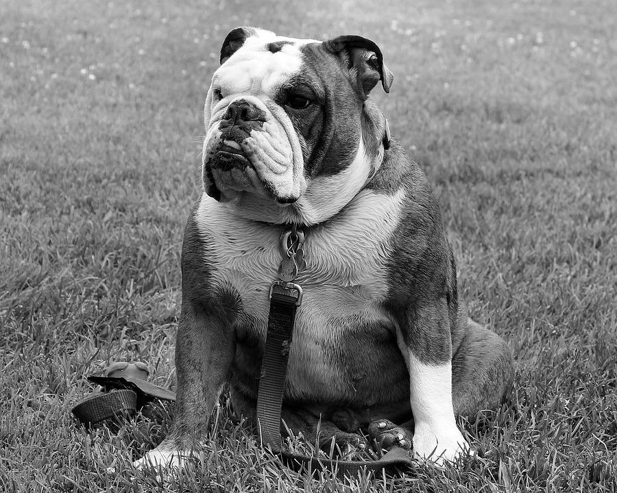 Bulldog, Dog, Pet, Sitting, Portrait, Funny