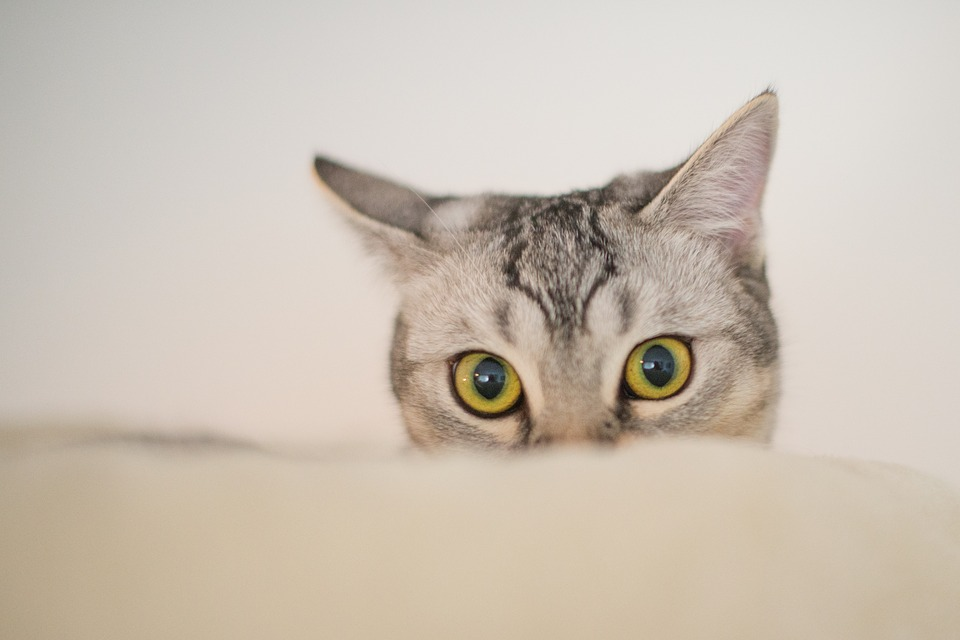Free Photo Funny Curious Eyes Kitten Sweet Cute Cat Animal Max Pixel