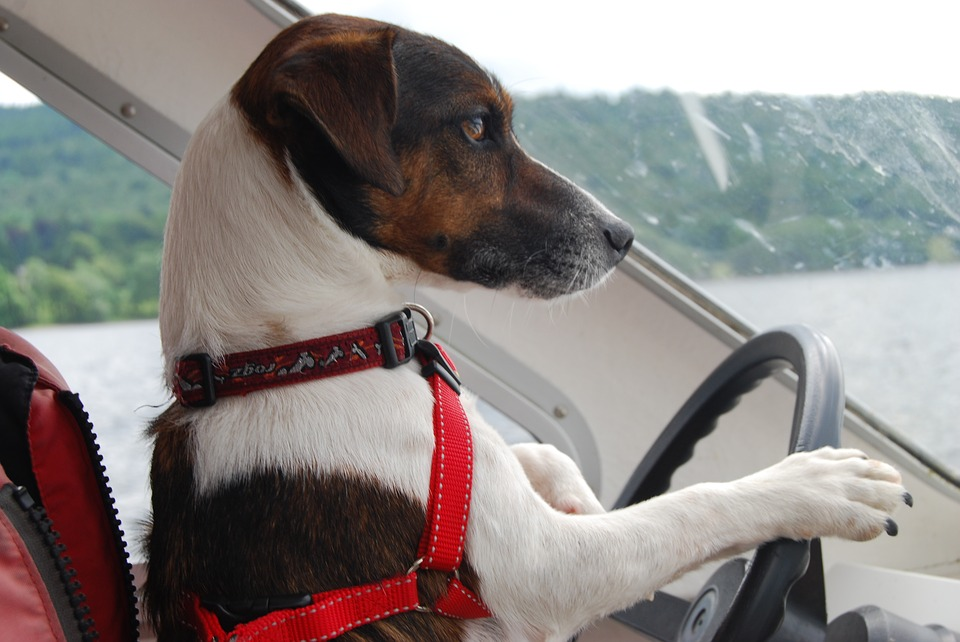 Jack Russell Terrier, Dog, Funny, Cute