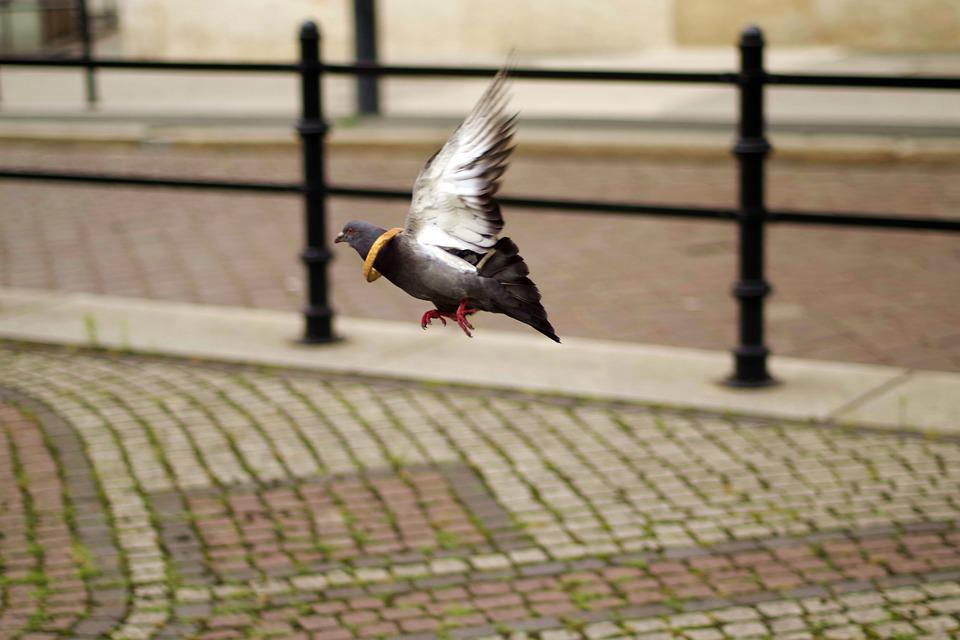 Dove, Flying, Funny, Bread, Escapes, Municipal, Pigeons