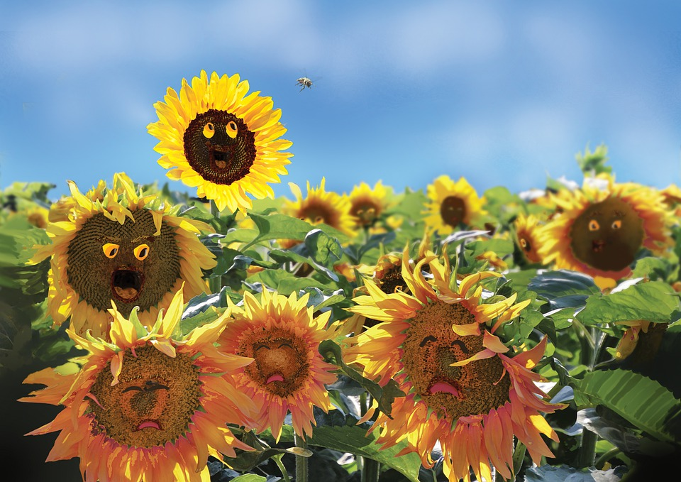 Sunflowers, Field, Funny, Hilarious, Silly, Fictional