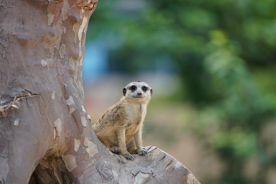 Meerkat, Supervisor, Guard, Nature, Mammal, Funny, Zoo