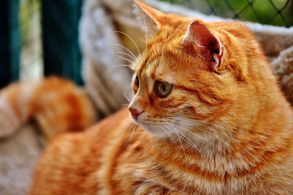 Cat, Mackerel, Photograph, Portrait, Funny, Red
