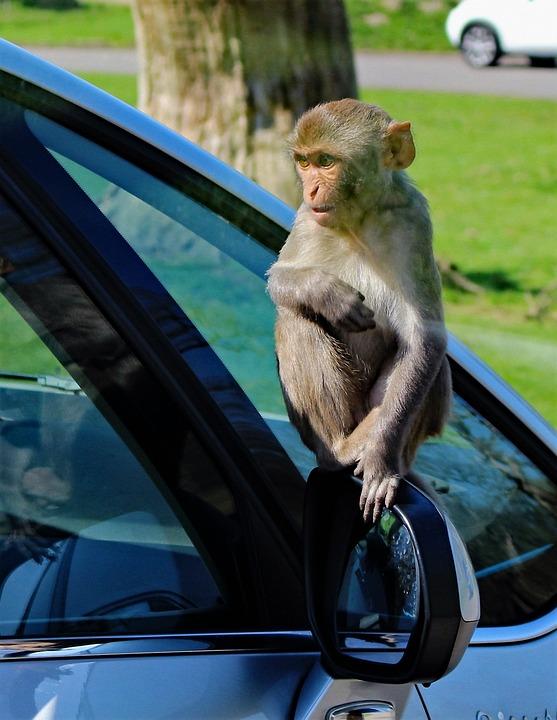 Rhesus Monkey, Monkey, Funny, Rhesus, Mammal, Wildlife