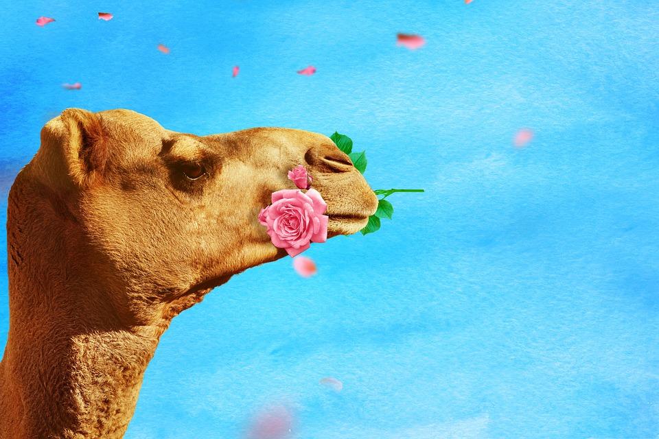 Camel, Rose, Rose Flower, Background, Texture, Funny