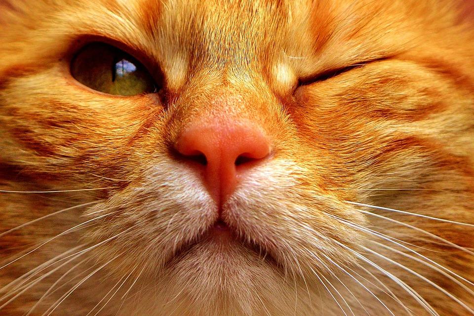 Cat, Mackerel, Wink, Funny, Red, Tiger Cat, Kitten
