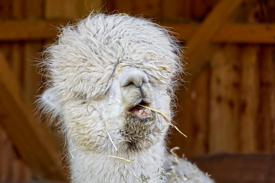 Zoo Mammal Lama Portrait Funny