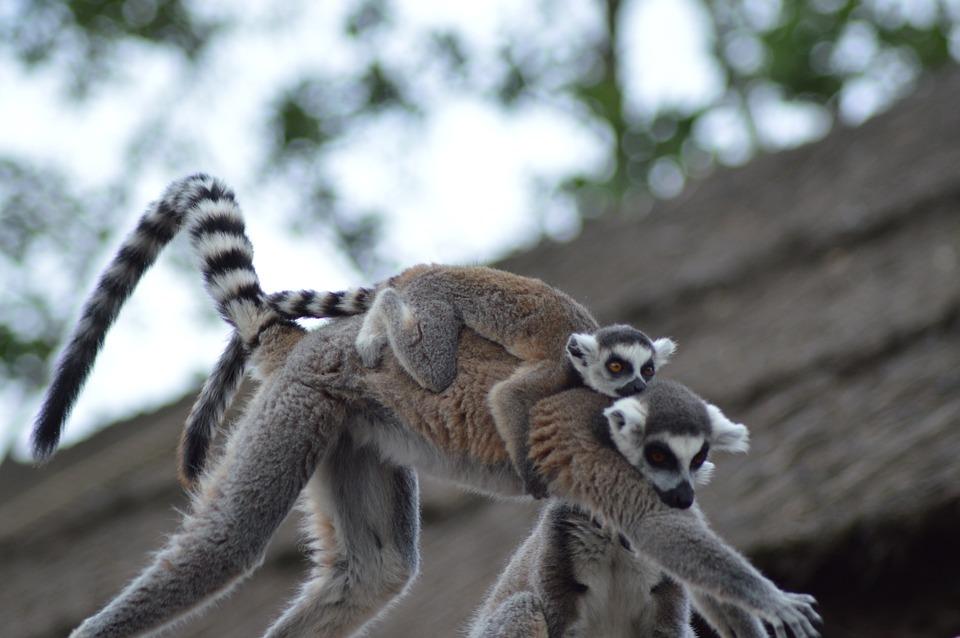 Animal, Lemur, Mom, Baby, Back, Mammals, Zoo, Fur, Eyes