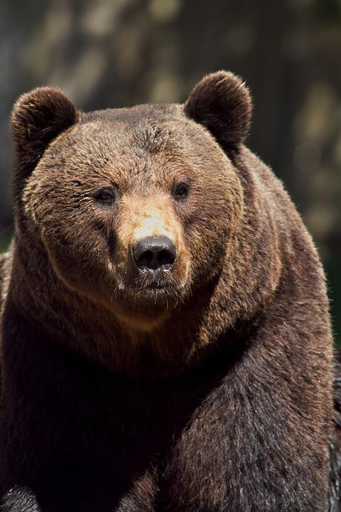 Brown Bear, Animal, Bear, Mammal, Predator, Fur