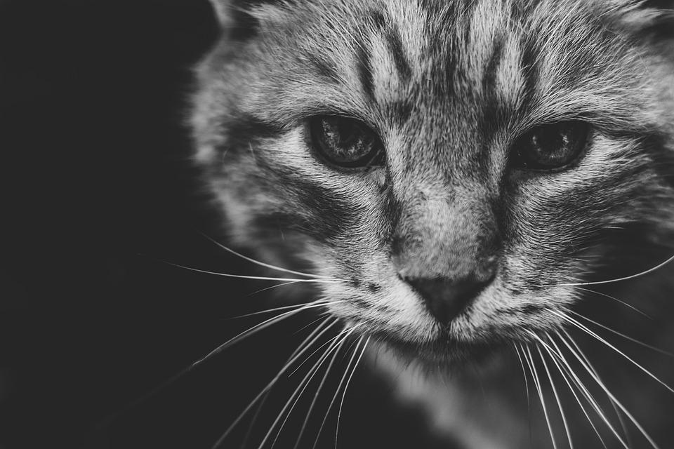 Cat, Wild, Animal, Predator, Wildcat, Hunter, Eyes, Fur