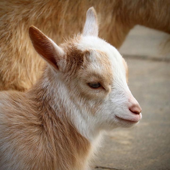 Animal, Mammal, Cute, Portrait, Fur, Goat, Head, Small
