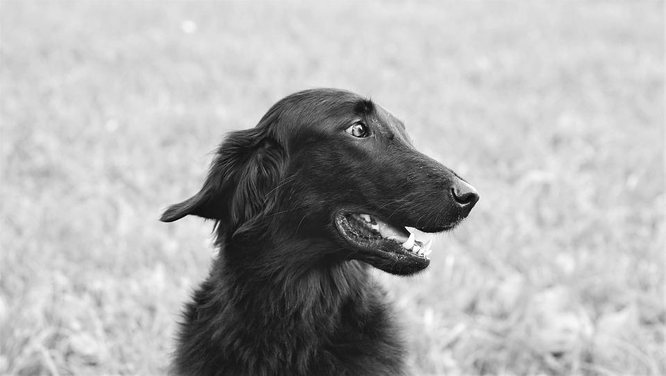 Dog, Setter, Pet, Dear, Fur, Animal Portrait, Race