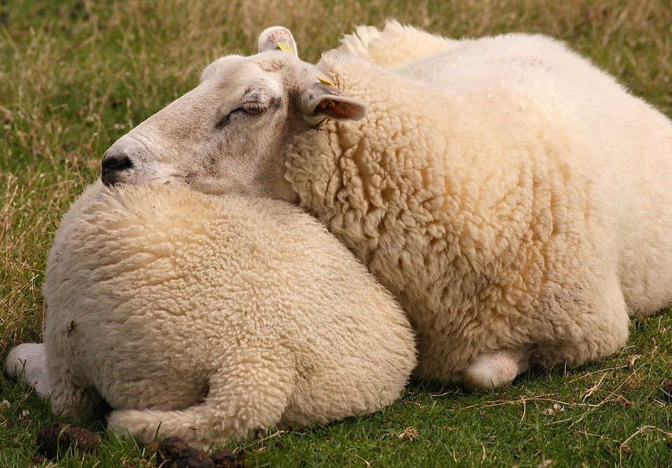Sheep, Animal, Wool, Fur, Agriculture, Animals, Dike