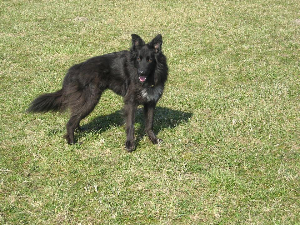 Dog, Black, Pet, Fur, Schäfer Dog