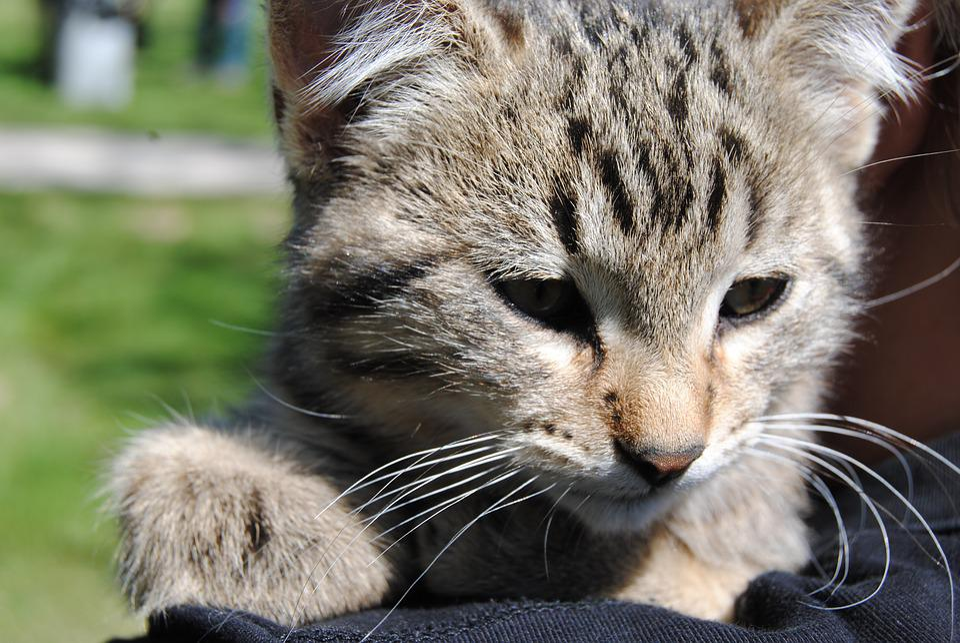 Cat, Kitten, Pet, Fur, Animal, Small, Feline, Domestic