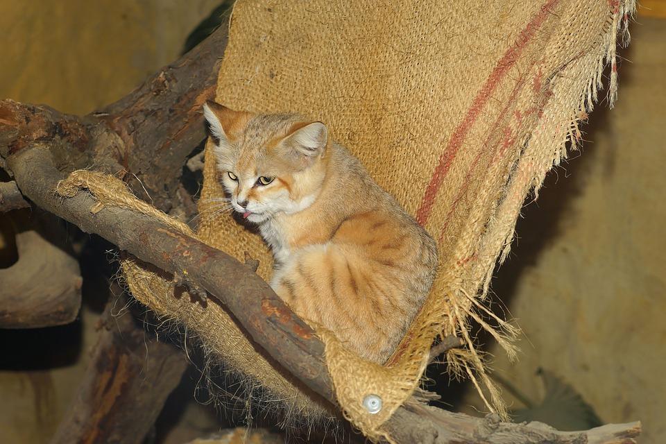 Cat, Sand Cat, Desert Cat, Fur, Soft, Cuddly