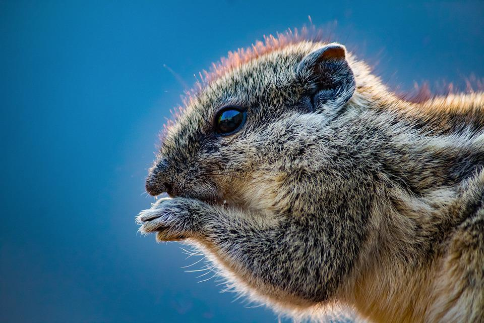 Animal, Squirrel, Rodent, Cute, Fur, Wild, Furry