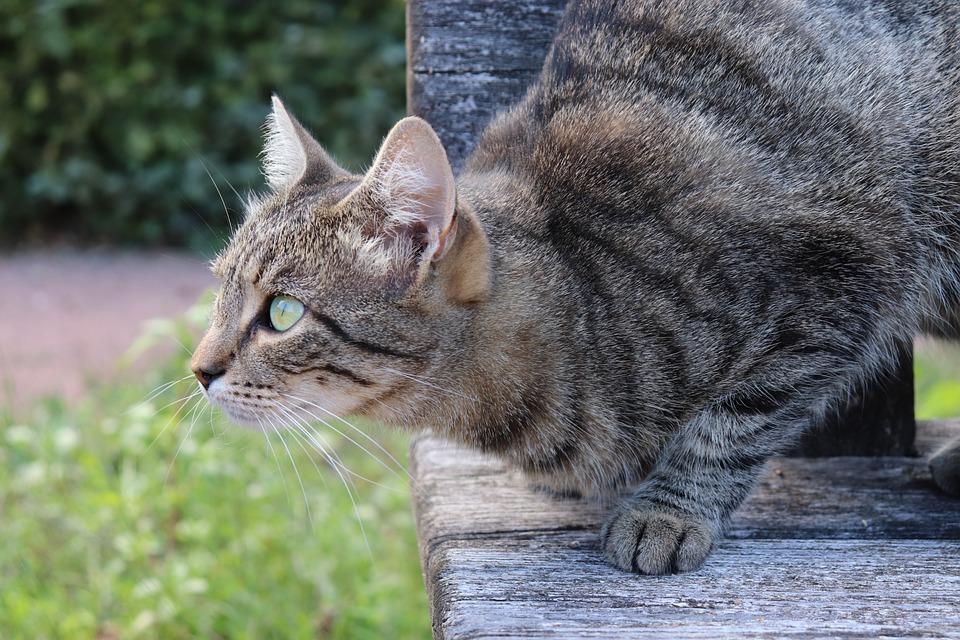 Cats, Felines, Tabby, Grey, Mammals, Cute, Fur