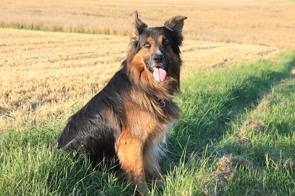 Dog, Schäfer Dog, German Shepherd, Hybrid, Summer, Fur