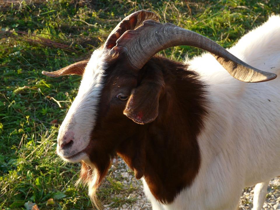 Goat, Billy Goat, Horns, Face, Portrait, Fur, Mammal