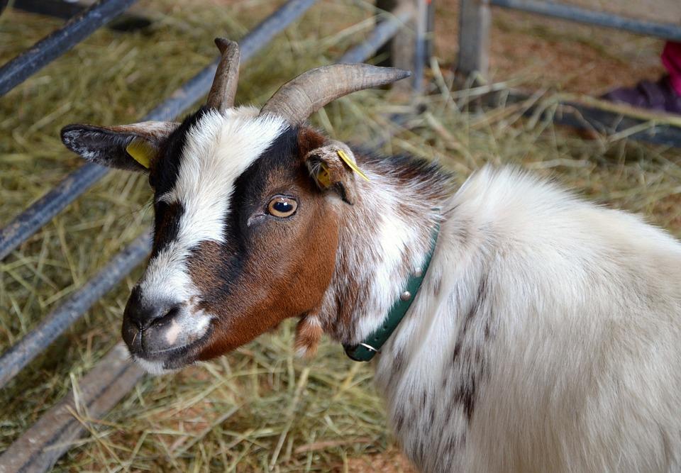 Goat, Young Animal, Domestic Goat, Farm, Fur