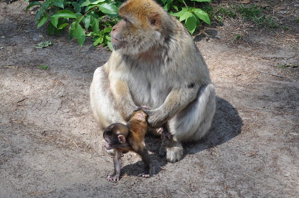 Monkey, Animal, Baby, Mother With Child, Forest, Fur