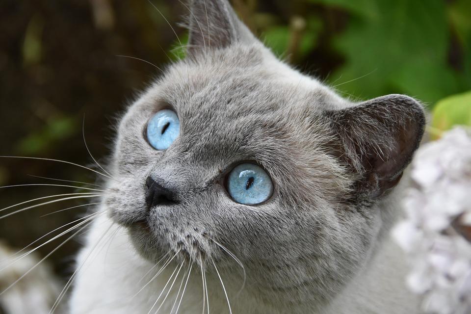 Cat, Pet, Blue Eyes, Fur, Furry, Whiskers, Garden