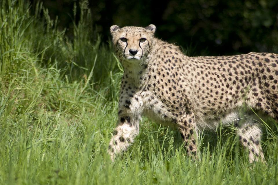 Cheetah, Predator, Cat, Fur, Hair, Pattern, Points