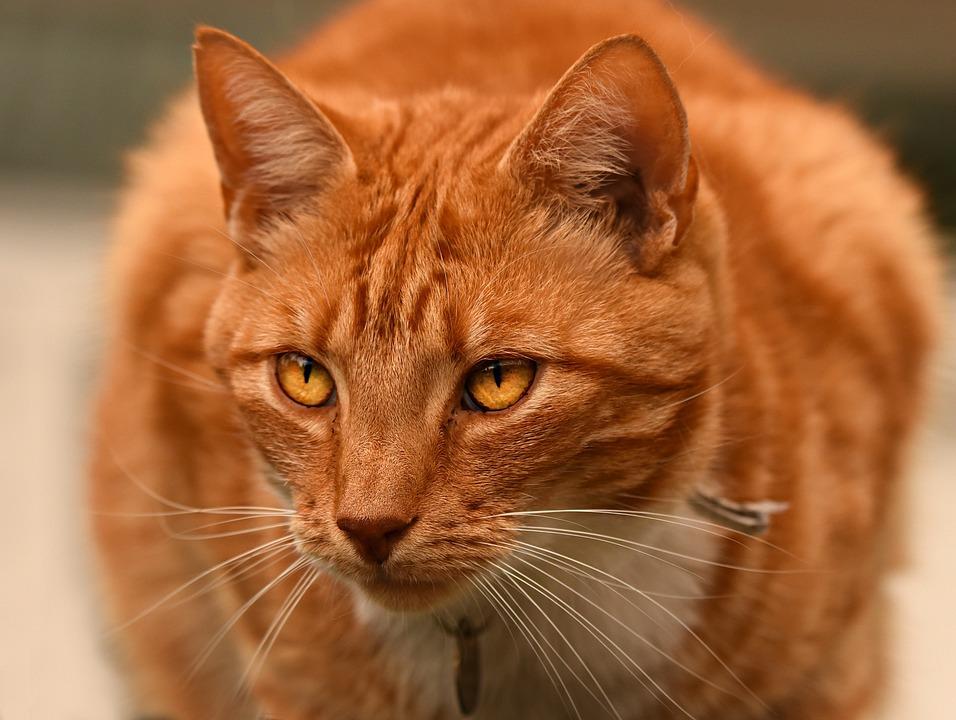 Ginger Cat, Tabby, Animal, Mammal, Feline, Pet, Fur
