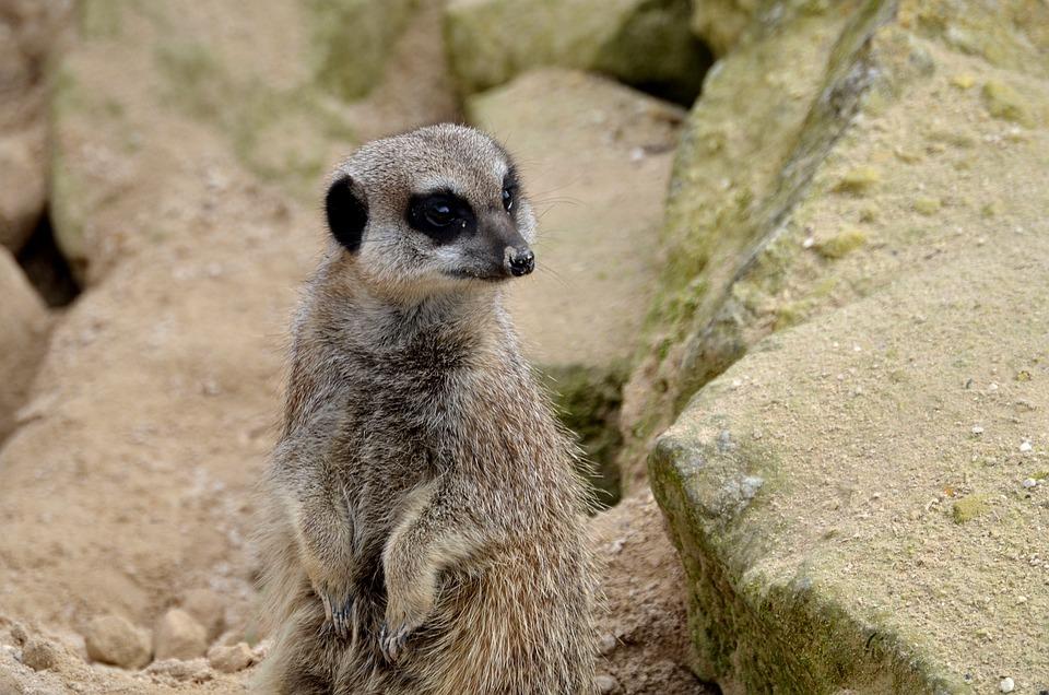 Meerkat, Animal, Wild, Wildlife, Nature, Fur, Alert