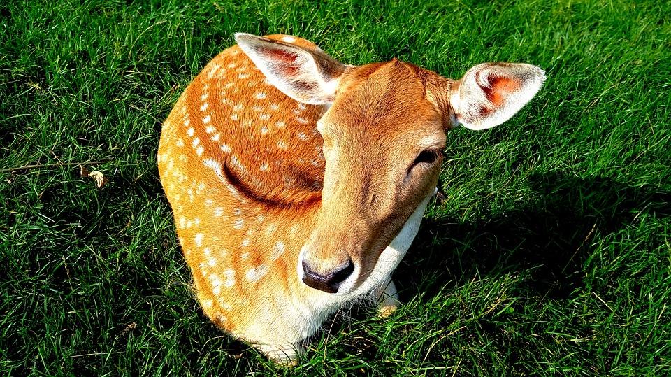 Sarna, Animal, Wild, Mammal, Nice, Hart, Forest, Fur