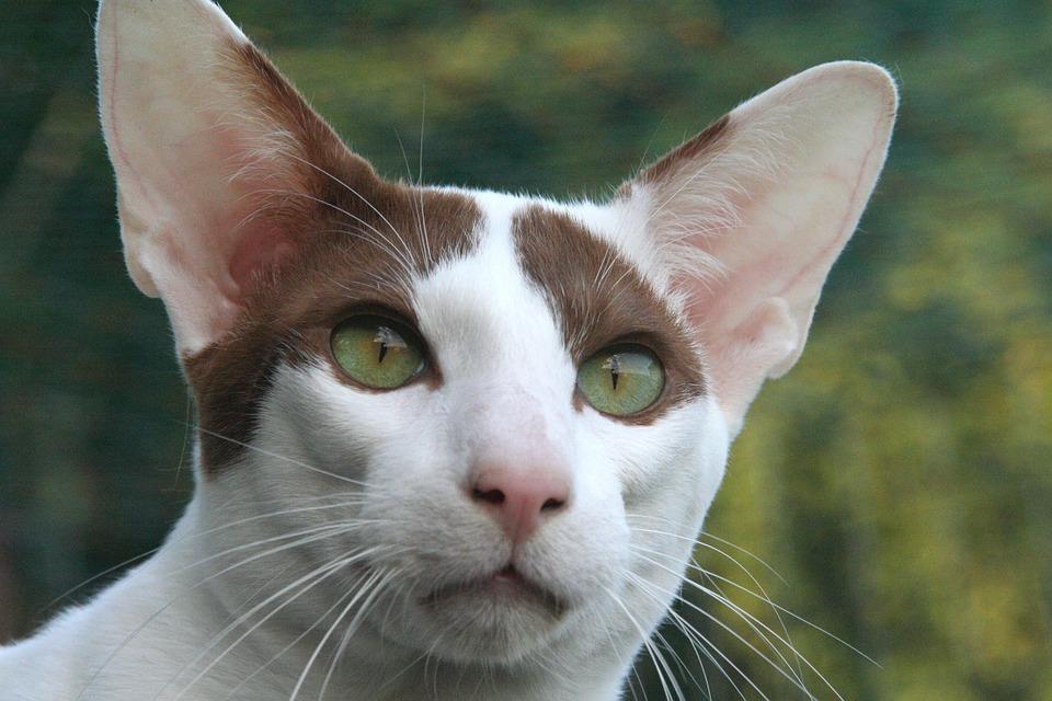 Cat, Attention, Oriental Shorthair, Closeness, Fur