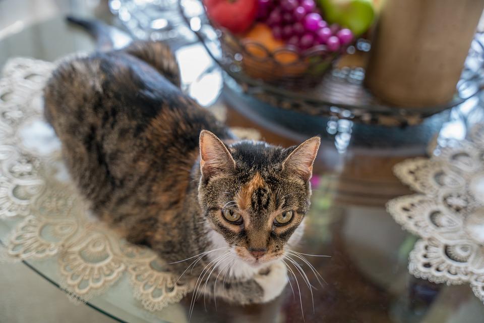 Cat, Pet, Feline, Animal, Fur, Kitty, Domestic