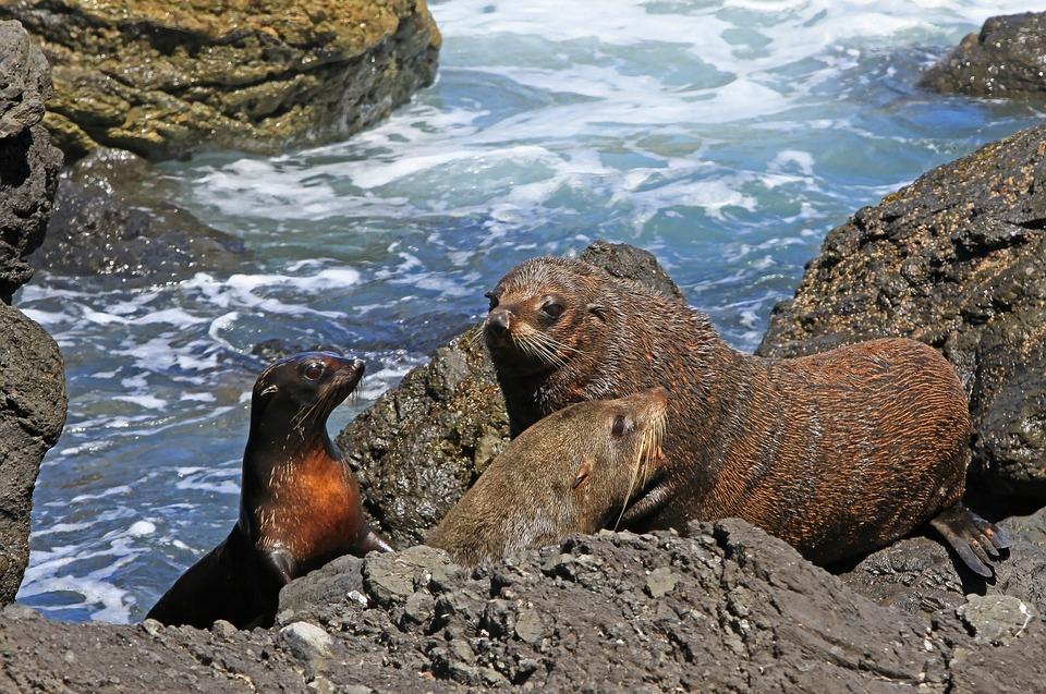 Fur Seal, Seals, Kekeno, Arctocephalus Forsteri