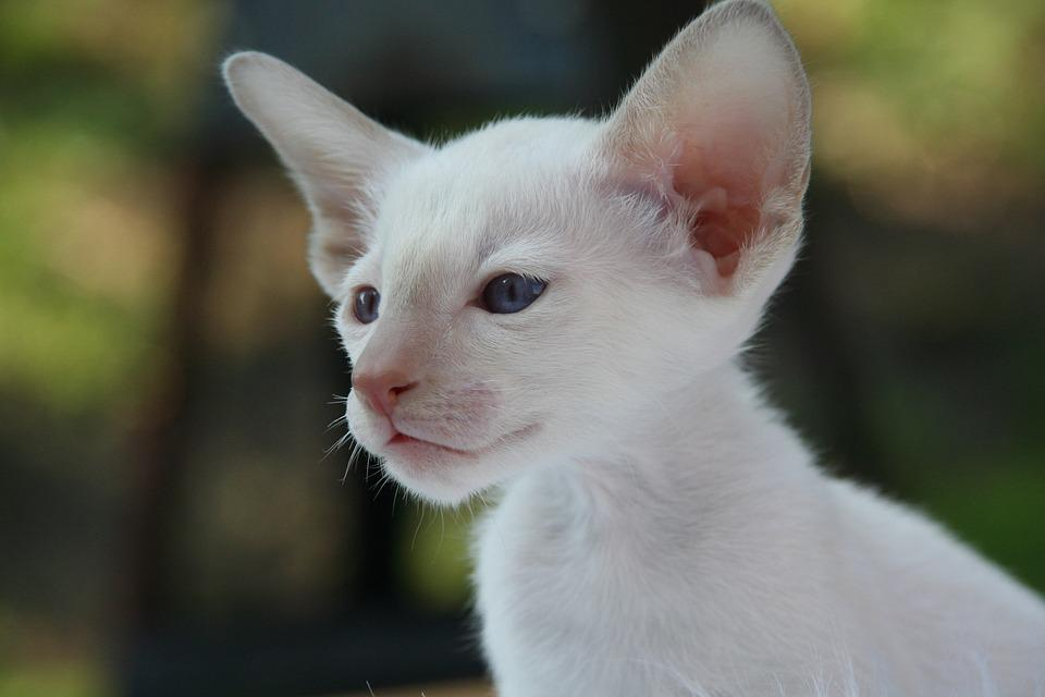 Siamese Cat, Cat, Kitten, Cat Baby, Fur, Charming