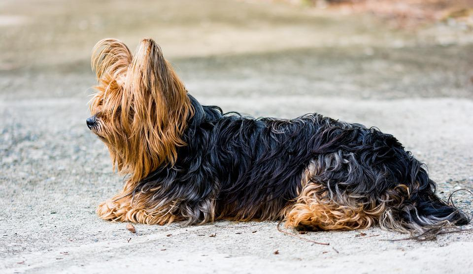 Yorkshire Terrier, Terrier, Dog, Small Dog, Fur