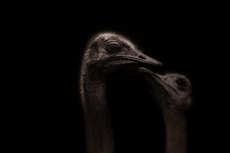 Ostrich, Strauss, Bird, Beak, Fur, Headshot, Animal