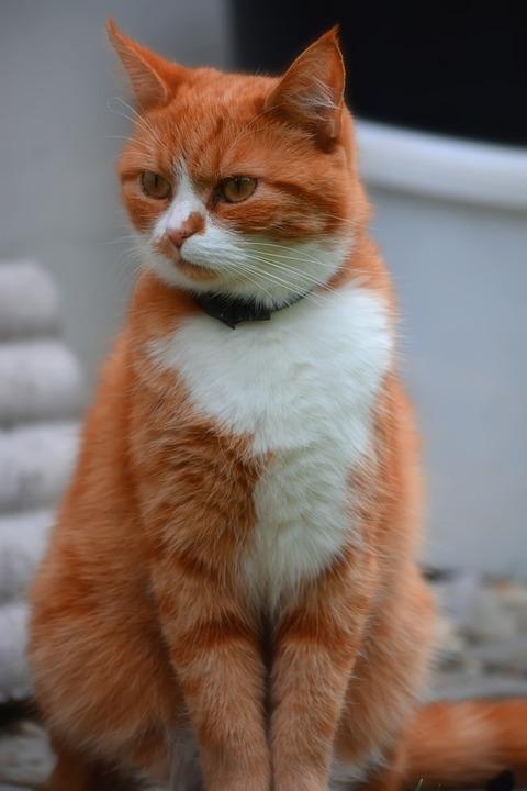 Cat, Sun, Fur, View, Redhead, Portrait