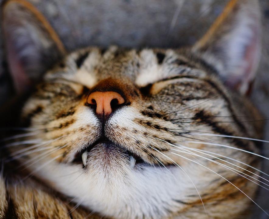 Cat, Sleep, Tiger Cat, Pet, Fur, Animal, Mieze