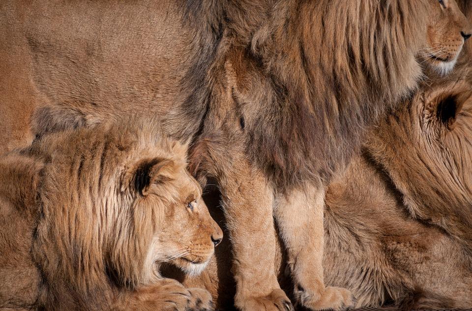 Lions, Animals, Fur, Zoo, Nature, Mammal, Cat, Wildlife