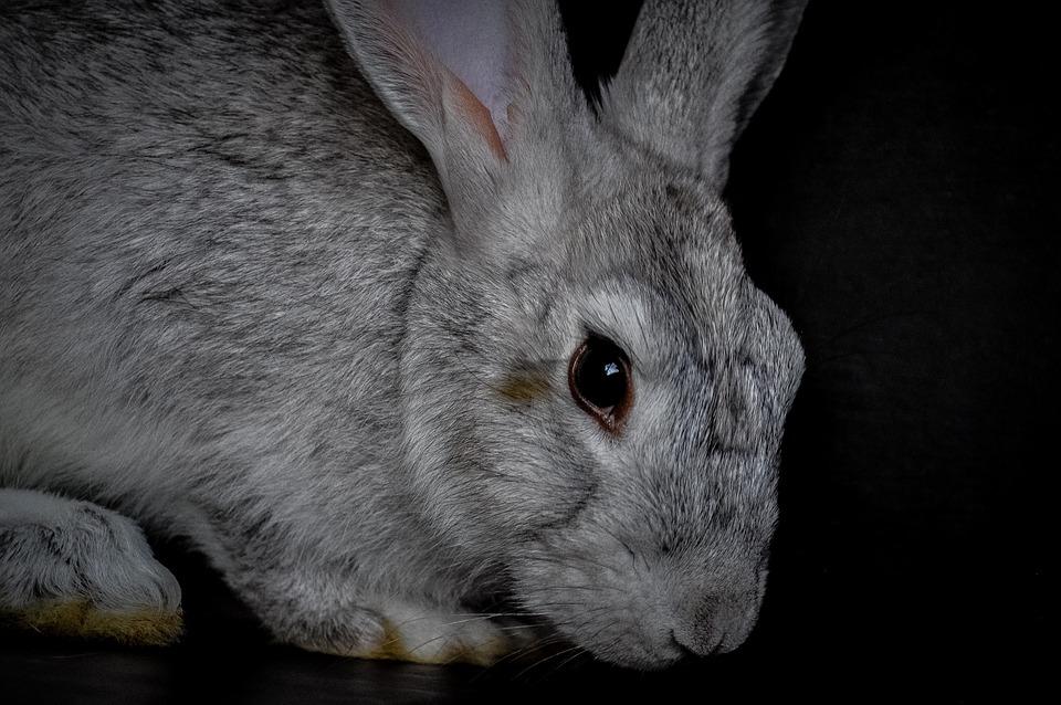Rabbit, Fur, Wildlife, Animal, Bunny, Cute Animal