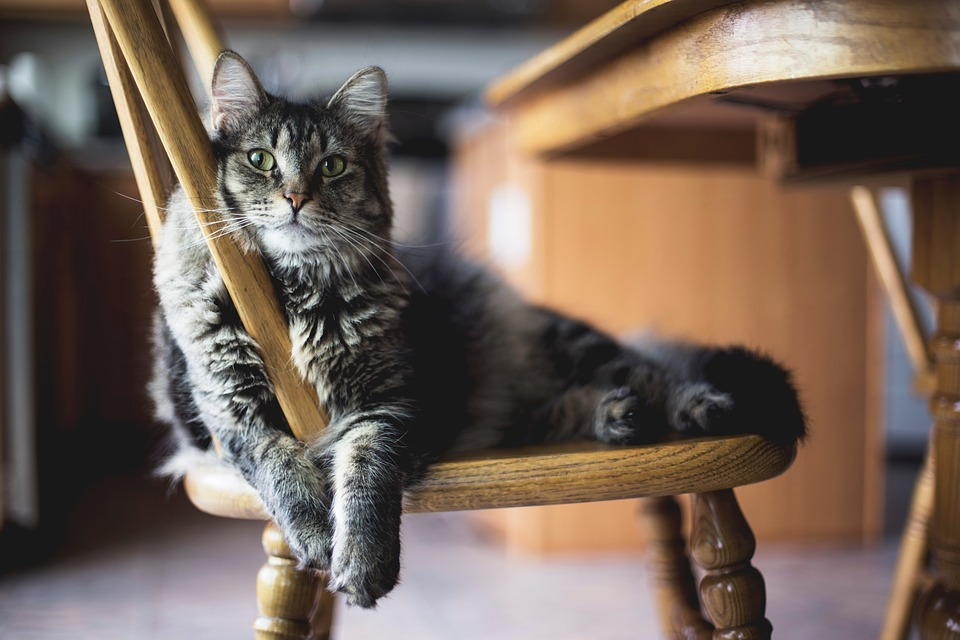 Wooden, Table, Chair, Furniture, Dining, Area, Cat
