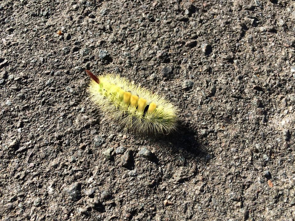 Caterpillar, Furry, Nature, Insect