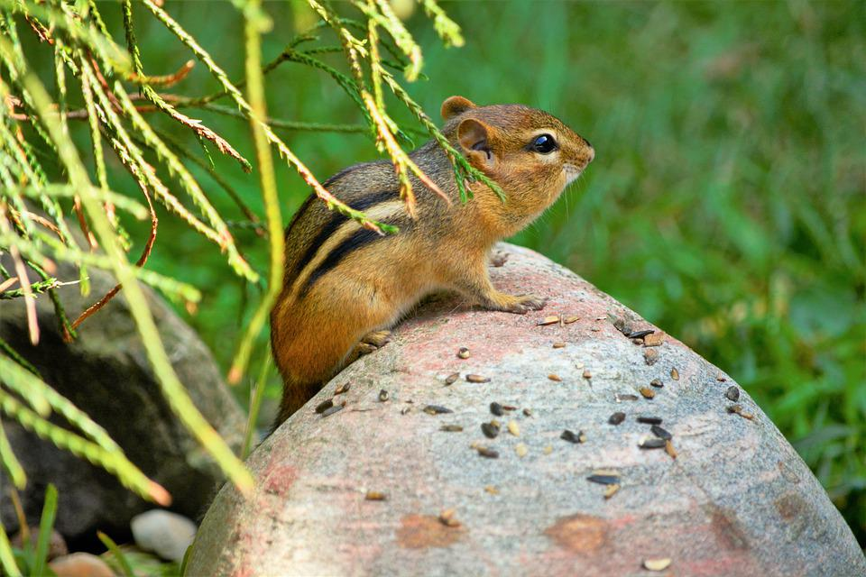 Chipmunk, Young, Cute, Closeup, Furry, Striped