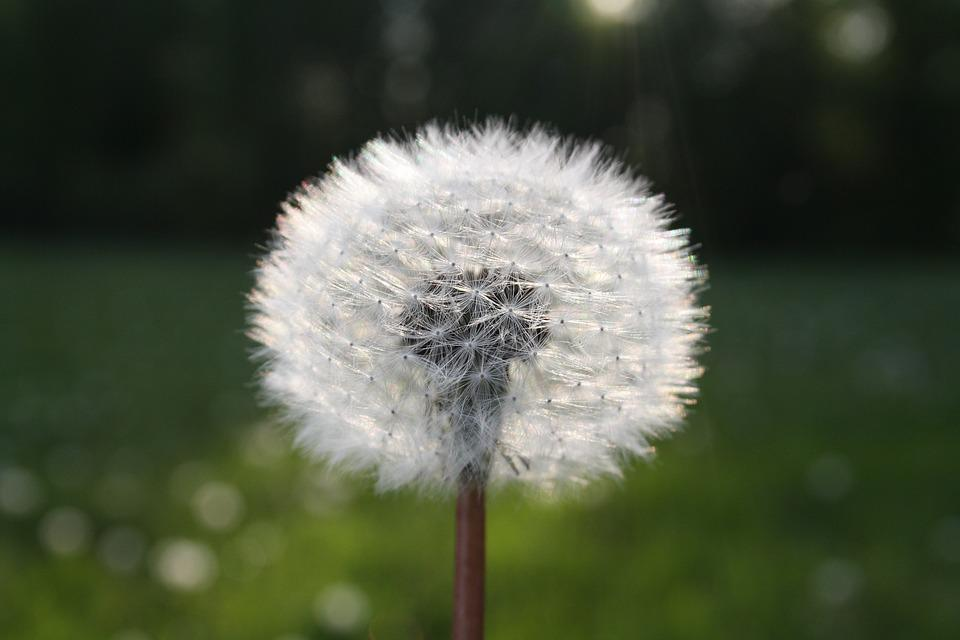 Flower, Seeds, Dandelion, Furry, Clockflower, Blowballs