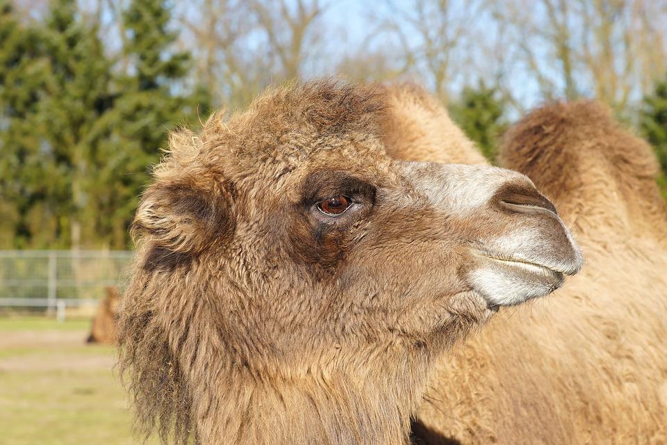 Camel, Brown, Head, Eye, Fur, Cute, Face, Furry, Cheeky