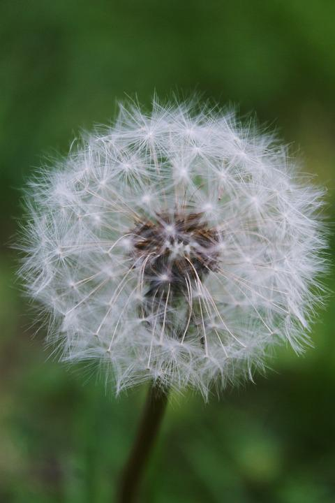 Dandelion, Summer, Nature, Plant, Furry, Fragile