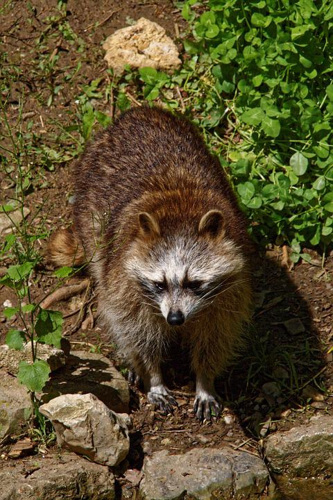 Raccoon, Animals, Wild, Animal World, Furry, Zoo, Brown