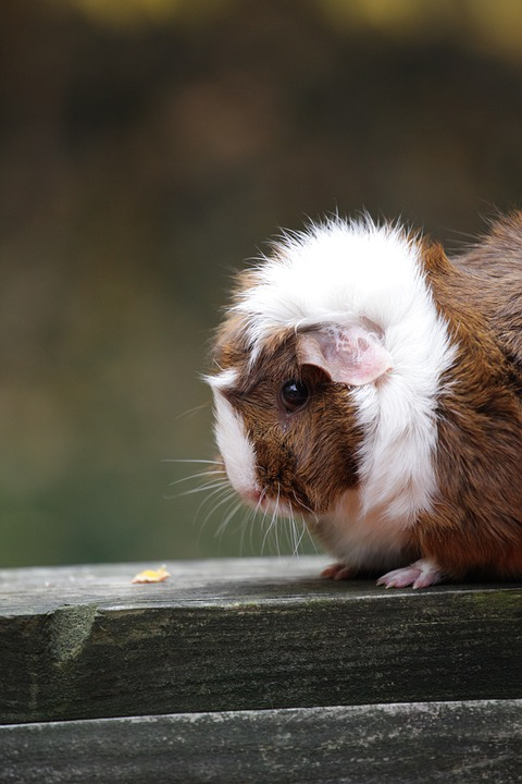 Animal, Guinea Pig, Pet, Cute, Rodent, Fur, Furry