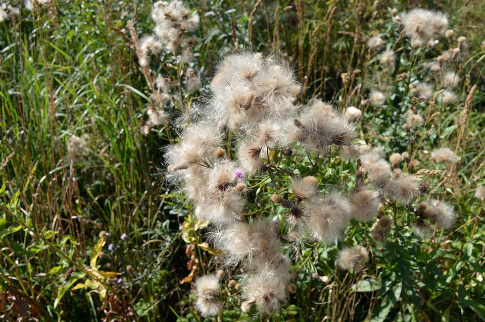 Thistle, Furry, Seeds, Plants, Flowers, White, Macro